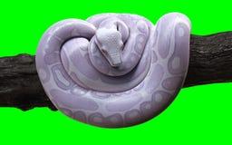 与裁减路线,白变种水蟒,球Python的大蟒蛇 皇族释放例证