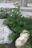 与装饰石头冰砾和一朵美丽的花的一张花床与在一个绿色词根的白色瓣 库存图片
