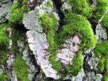 与装饰背景纹理吠声桦树木头的宏观照片与以心脏的形式一个自然状态,苔绿色树荫 免版税库存照片