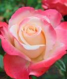 与装饰背景纹理精美玫瑰丛瓣的宏观照片有白色的瓣和桃红色颜色树荫的 免版税图库摄影