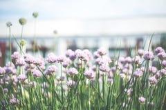 与装饰葱紫罗兰色花的花卉背景  免版税库存图片