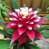 与褐红和白色瓣的一个热带凤梨科 免版税库存图片
