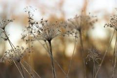 与褐色和黄色的干植物特写镜头弄脏了背景, 图库摄影