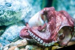 与触手的一个大章鱼 图库摄影
