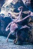 与触手的一个大章鱼 免版税库存照片