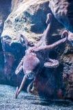 与触手的一个大章鱼 免版税库存图片