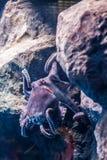 与触手的一个大章鱼 库存图片