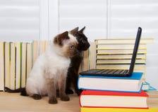 与计算机的暹罗和黑小猫 库存图片