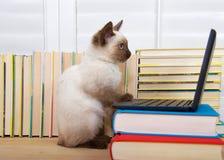 与计算机的暹罗小猫 库存照片