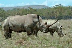 与记录垫铁和小牛的空白犀牛 免版税库存照片