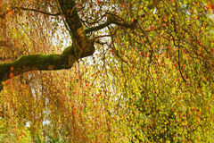 与许多五颜六色的叶子的桦树 免版税库存照片
