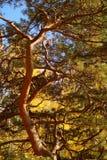 与许多分支的杉树 免版税库存照片