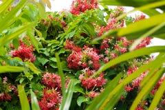 与许多小桃红色仰光爬行物花的大绿色灌木 免版税库存图片