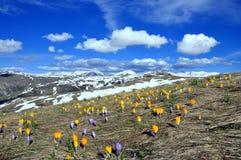 与许多番红花的春天风景在山 库存图片
