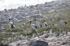 与许多白色苍鹭的美好的风景在好锄附近海角的海滩在开普敦,南非 库存图片