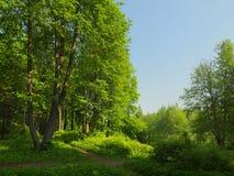 与许多的夏天风景绿草和大椴树 免版税库存图片