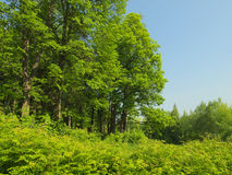 与许多的夏天风景绿草和椴树 库存照片