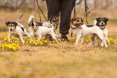 与许多的所有者杰克Russells在一个开花的草甸的春天 库存照片