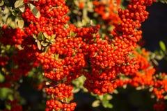 与许多的枸子属植物灌木在分支的红色莓果,秋季背景 特写镜头五颜六色的秋天狂放的灌木与 库存图片