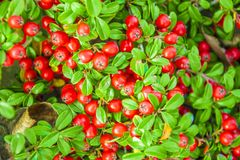 与许多的枸子属植物灌木在分支的红色莓果,秋季背景 与红色berrie的特写镜头五颜六色的秋天狂放的灌木 免版税库存照片