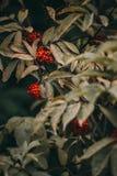 与许多的枸子属植物灌木在分支的红色莓果,秋季背景 库存照片