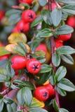 与许多的枸子属植物灌木红色莓果 库存照片