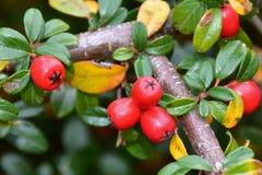 与许多的枸子属植物灌木红色莓果 免版税库存图片