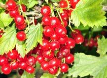与许多的红醋栗灌木在叶子中的垂悬的无核小葡萄干 免版税库存图片