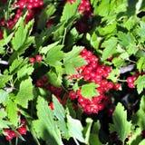 与许多的红醋栗灌木在叶子中的垂悬的无核小葡萄干 库存照片