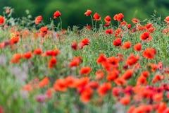 与许多的鸦片领域美丽的红色花 免版税库存照片