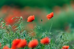与许多的鸦片领域美丽的红色花 免版税库存图片