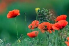 与许多的鸦片领域美丽的红色花 库存照片