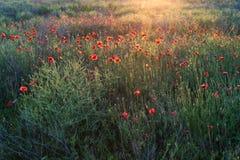 与许多的鸦片领域美丽的红色花 库存图片