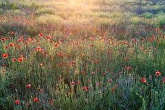 与许多的鸦片领域美丽的红色花 免版税图库摄影