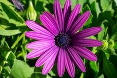 与许多的紫色雏菊绿色在背景离开 库存图片