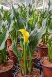 与许多的水芋百合离开作为花卉背景 库存图片