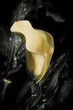 与许多的水芋百合离开作为花卉背景 库存照片
