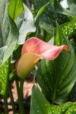 与许多的水芋百合离开作为花卉背景 免版税库存照片