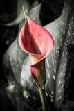 与许多的水芋百合离开作为花卉背景 免版税图库摄影