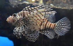 与许多的蝴蝶鳕鱼布朗和白色条纹 库存图片