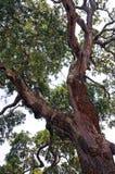 与许多肢体的大树 图库摄影