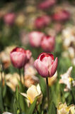 与许多颜色花的桃红色郁金香在背景 图库摄影