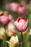 与许多颜色花的桃红色郁金香在背景 免版税库存照片
