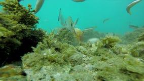 与许多鱼的水下的野生生物在沿海的西班牙人 股票录像
