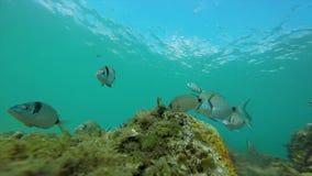与许多鱼的水下的野生生物在沿海的西班牙人 股票视频