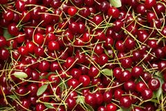 与词根和叶子,莓果伯根地背景的成熟樱桃 免版税图库摄影