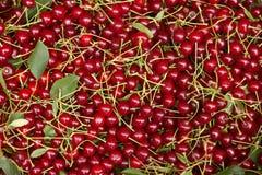 与词根和叶子,莓果伯根地背景的成熟樱桃 免版税库存照片
