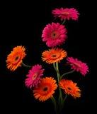 与词根的桃红色和橙色大丁草在黑背景 库存图片