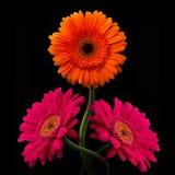 与词根的桃红色和橙色大丁草在黑背景 库存照片