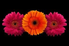 与词根的桃红色和橙色大丁草在黑背景 免版税库存照片